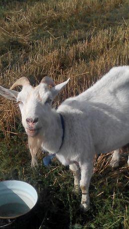 коза дійна 5 років