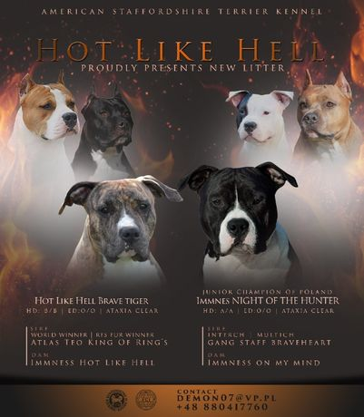 !!! American Staffordshire Terrier !!!
