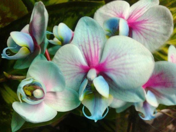Orquídeas invulgares - Azul, verde, rosa, amarelo PLANTAS de INTERIOR