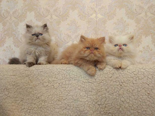 Персы! Чудесные персидские котята!