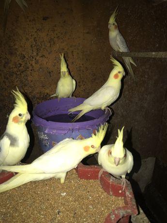 Папугаї різні види молодь з гнізда!
