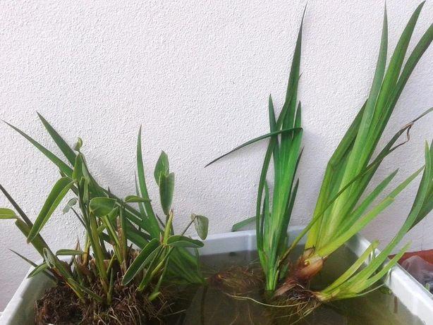 Plantas para lago JARDIM