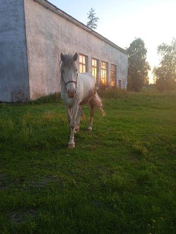 продам коня,Волинська обл.Турійський р-н.с.Туропин