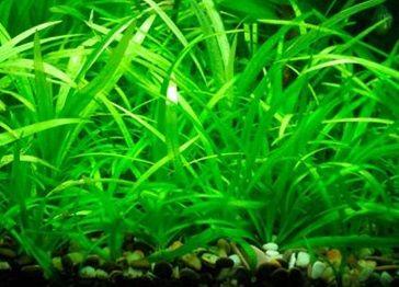 Echinodorus - roślina akwariowa