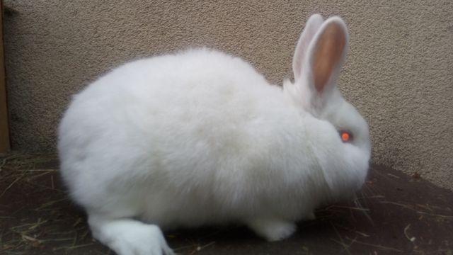królik samica nowozelandzka biała samica