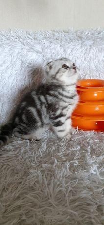 Шотлландские вислоухие котята, Киев