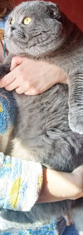 Вислоухий опытный кот