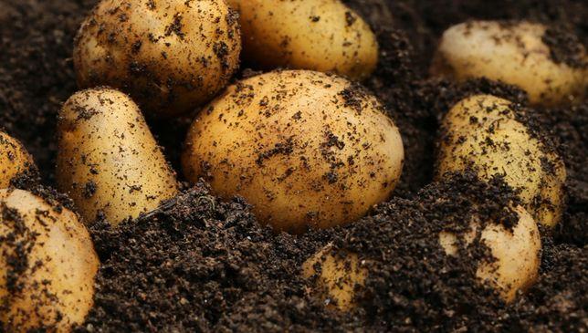 Ziemniaki     .