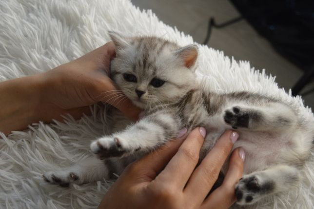 Шотландский котёнок вискас (страйт)
