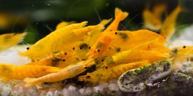 Krewetki, krewetka Orange, Neocaridina