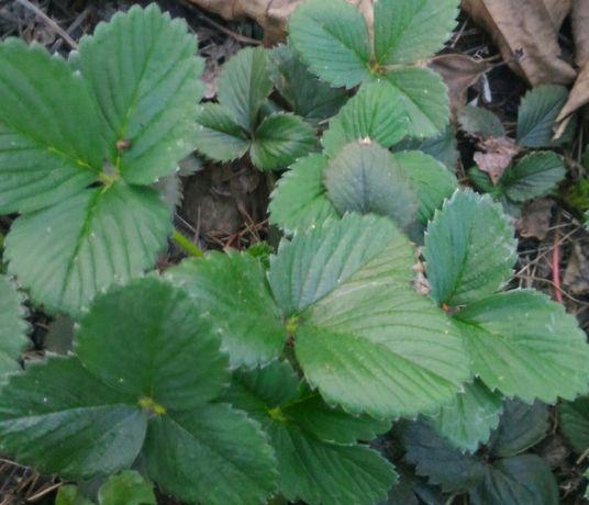 Flancki truskawki, sadzonki truskawek prosto z gruntu