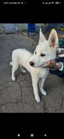 Пропала найдена собака КИЧКАС