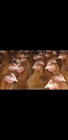Młode kury,kurczaki,nioski, w różnym wieku,pełny program szczepień