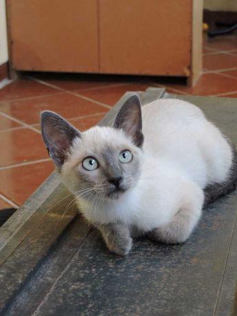 Alegria em casa, lindo gatinho Blue Point de pais Russo Azul