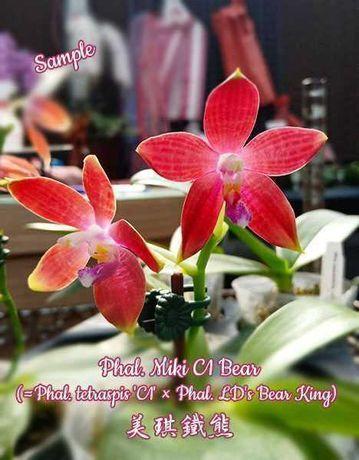 Орхидея ароматная гибрид тетраспис фаленопсис