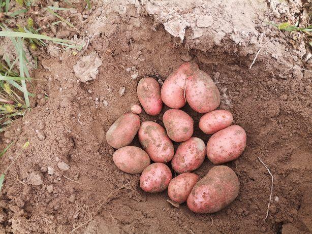 Sprzedam ziemniaki lilly, red lady, tajfun. 80gr kg