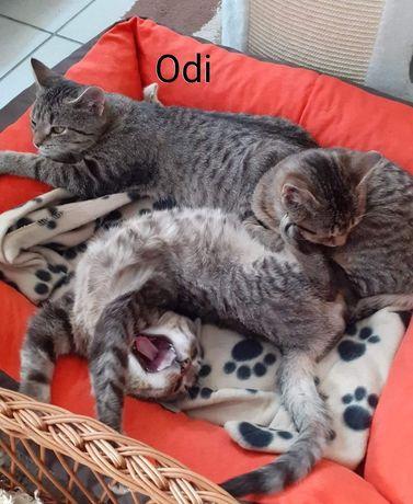 4 miesięczny miziak kocurek Odi szuka domu