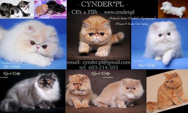 Koty Perskie i Egzotyczne - Hodowla CYNDER*PL, FPL (FIFe)