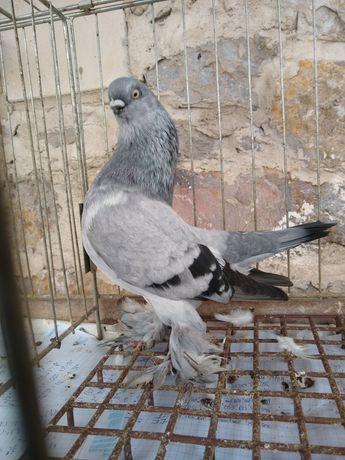 Gołębie ozdobne berliński krotkodzioby