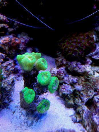 Caulastrea fluo morskie