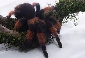 брахипельма эмилия паук павук птицеед brachypelma emilia новичку