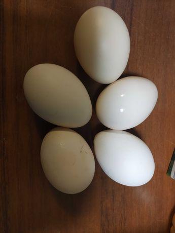 Jaja lęgowe od kur zielononóżki