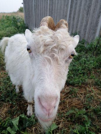 Срочно продам доеных коз