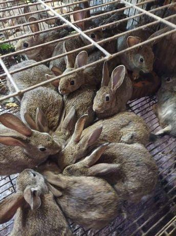 Vendo coelhos bravos