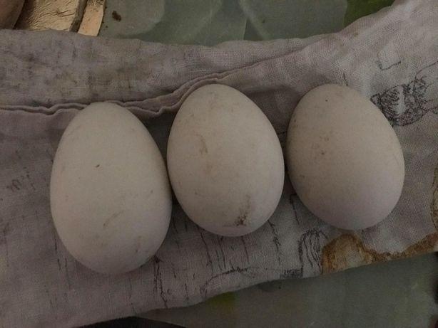Jajka Gesie i Kacze