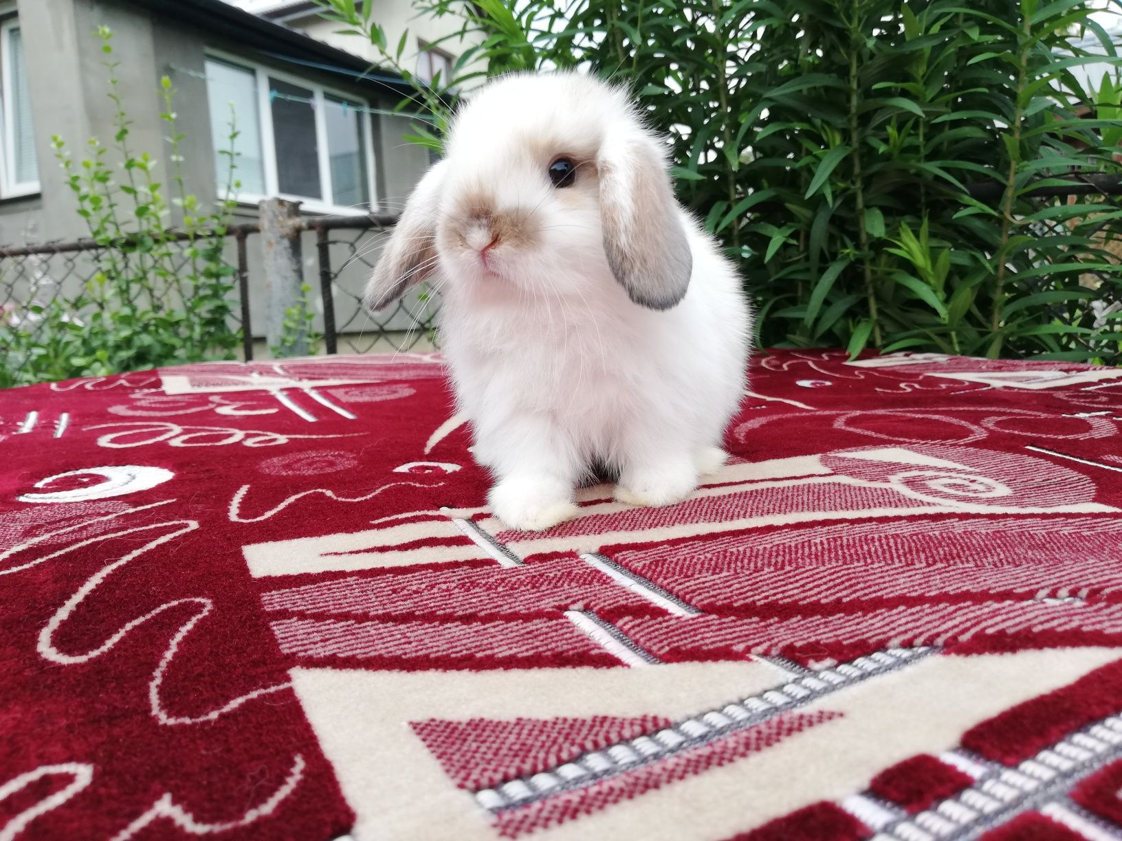 NHD. Нідерландський висловухий кролик. Карликовий баранчик.