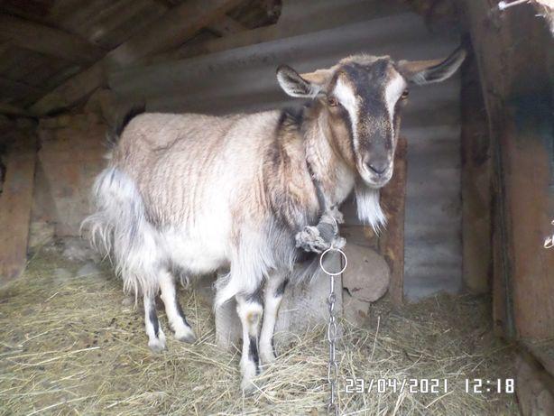 Продам спокойную козу