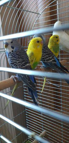 Papugi faliste/klatka dla ptaków