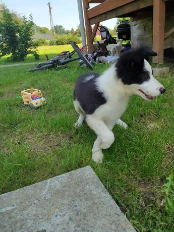 Border Collie czarno biały pies