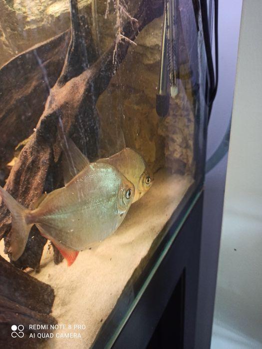 3szt. Dorosłych Płaskoboków 11/12cm rybki podobne do piranii Częstochowa - image 1