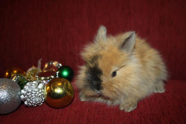 Красивенькие карликовые крольчата в продаже