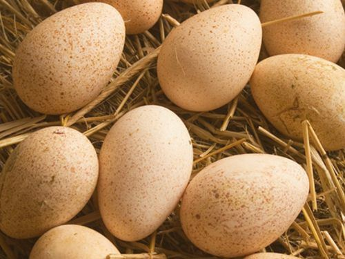 Индюшиное инубационное яйцо  БИГ-6