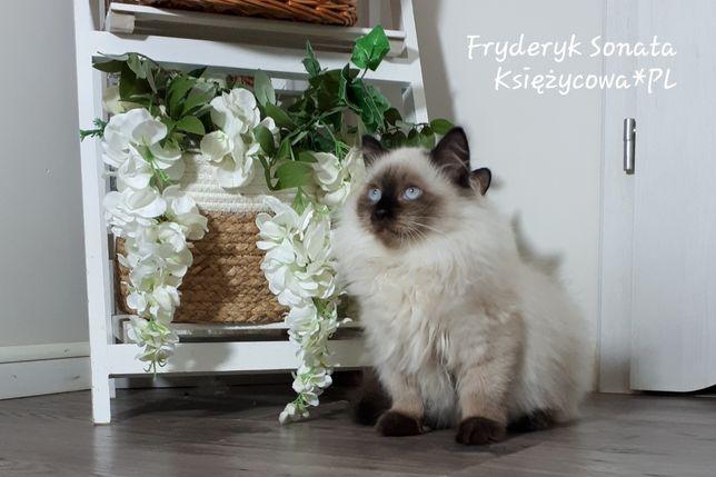 Kocięta , koty syberyjskie, neva masquerade z rodowodem PZF.