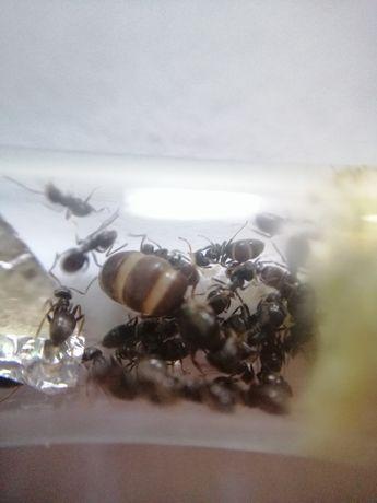 Mrówki Lasius niger Q+10-20w kolonia mrówek
