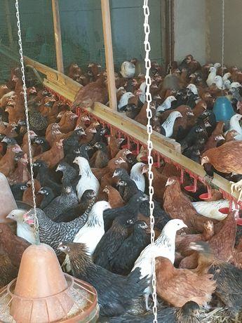 Młode kury nioski rasy Rossa przed jajkiem