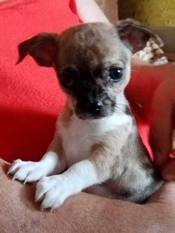 Chihuahua -piękny piesek