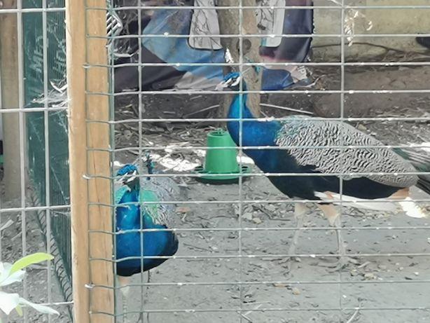 Vendo pavão azul macho