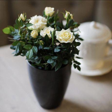 Роза бардюрная