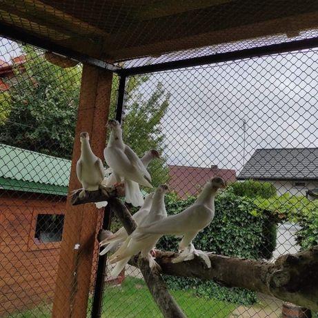 Lot gołębi budapeszty