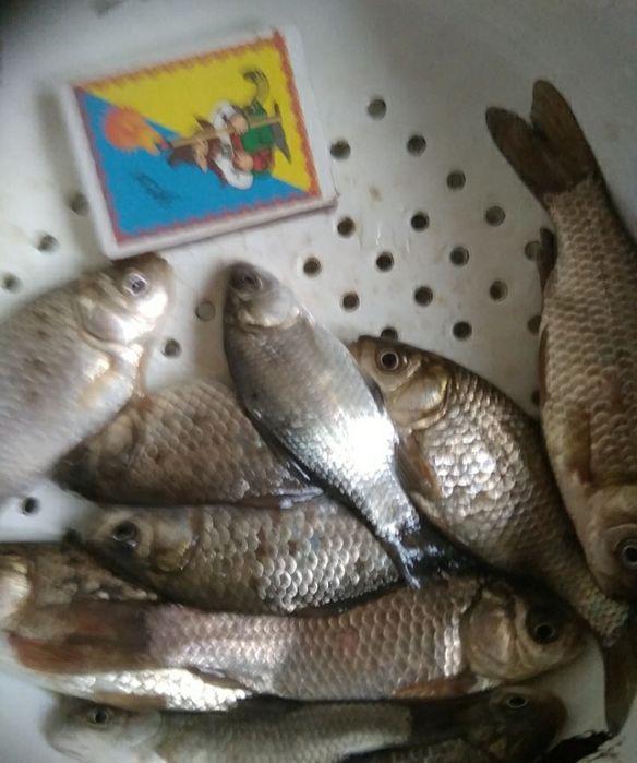 Живец карась для рыбалки Мариуполь - изображение 1