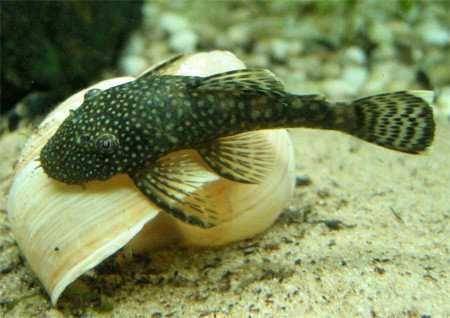 Анциструсы, сомики, аквариумные рыбки