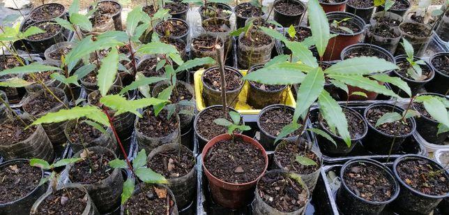 Loureiro / Louro - planta em vaso