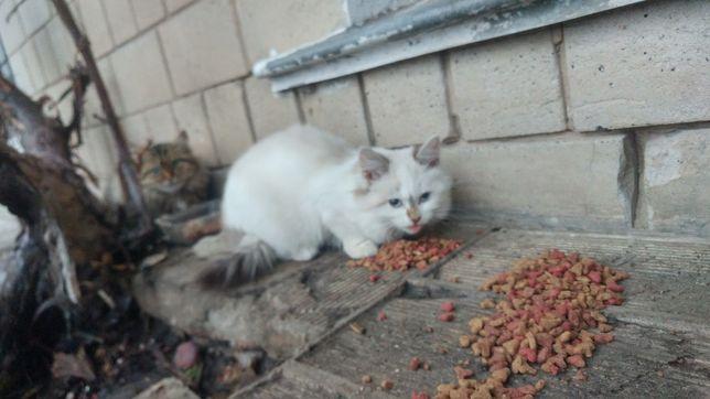 Котёнок голубоглазый