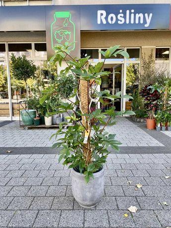 Philodendron pedatum 140 cm