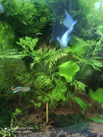 ceratopteris thalictroides łatwa roślina do akwarium akwarystyka