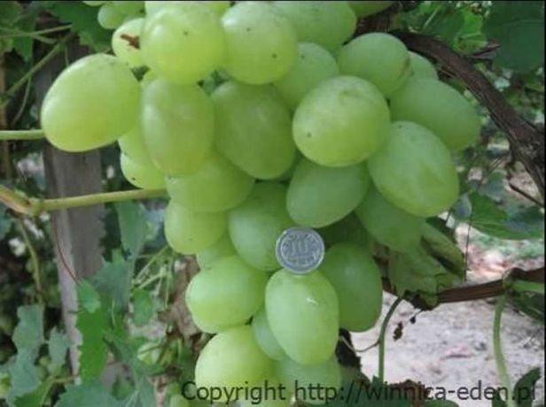 Sadzonki winorośli. Największy winogron ARKADIA 120 cm